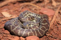 Antaresia stimsoni | Stimson's Python, Karijini National Park