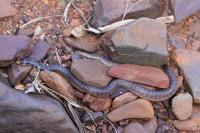 Brachyurophis approximans   North-western Shovel-nosed Snake, Kalgan Pool