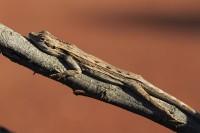 Caimanops amphiboluroides   Mulga Dragon, south of Newman