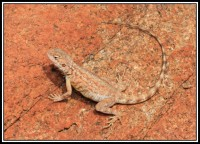 Ctenophorus caudicinctus | Ring-tailed Dragon, east of Karijini N.P.