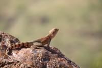 Ctenophorus caudicinctus   Ring-tailed Dragon, east of Karijini N.P.