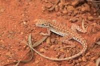 Ctenophorus isolepis   Military Sand-dragon, Sandfire