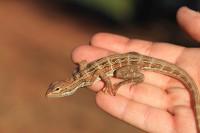 Ctenophorus scutulatus   Lozenge-Marked Dragon, Daigaranga