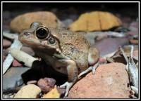 Cyclorana maini   Main's Frog, Tom Price