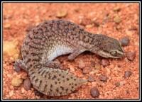 Diplodactylus conspicillatus   Fat-tailed Gecko, Sandfire