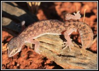 Diplodactylus conspicillatus,   Fat-tailed Gecko, Sandfire