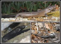 Egernia kingii | King's Skink, Porongurup Range and on the right site Stirling Range