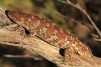Egernia stokesii badia   Gidgee Spiny-tailed Skink, near Billabong