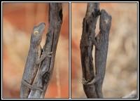 Strophurus rankini   Exmouth Spiny-tailed Gecko, Coral Bay