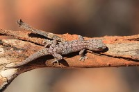 Gehyra punctata   Spotted Dtella, Karijini N.P