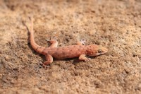 Gehyra punctata   Spotted Dtella