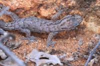 Gehyra variegata | Varied Dtella, Paynes Find