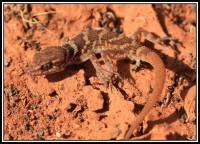 Heteronotia spelea   Cave Prickly Gecko, Sandstone