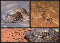Antaresia stimsoni   Stimson's Python, top left Kalgan Pool, top right and bottom Karijini National Park