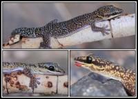 Oedura marmorata   Marbled Velvet Gecko, Kalgan Pool