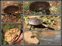 Chelodina steindachneri   Steindachner's Long-necked Turtle, south of Nullagine.