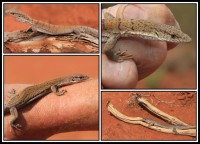 Varanus caudolineatus, gijleni   Down: Line-tailed Pygmy Monitor, near Mimilya, top Pygmy Mulga Monitor, Sandfire