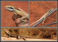 Gowidon longirostris | Long-nosed Water Dragon, before Amphibolurus longirostris, botom Cape Range, top near Daigaranga
