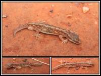 Lucasium stenodactylum   Pale-snouted Ground Gecko, Mimilya