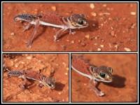 Nephrurus vertebralis | Midline Knob-tail, Paynes Find
