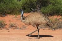 Emu   Dromaius novaehollandiaein, near Monkey Mia