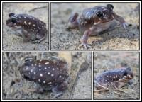 Heleioporus albopunctatus   White-spotted Burrowing Frog, south of Geraldton