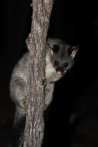 Mountain Brushtail Possum   Trichosurus cunninghami, Yalgorup National Park