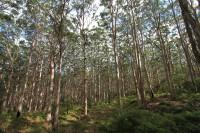 Huge eucalyptus trees   East of Leeuwin-Naturaliste National Park