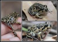 Limnodynastes dorsalis   Banjo Frog, east of Hamelin Bay