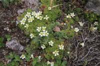 Flowers | Near Mutnovsky Volcano