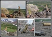 Kamchatka Marmot | Marmota kamtschatica (camtschatica), near Avachinski Volcano