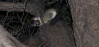 Bush-baby | Galago senegalensis, Nata