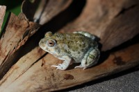 Knocking Sand Frog | Tomopterna krugerensis, Nata lodge