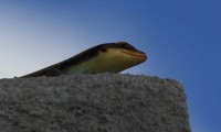 Skink | Trachylepis sp., Nata lodge