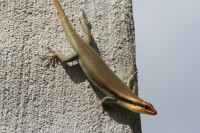 Skink | Trachylepis sp., Nata lodge