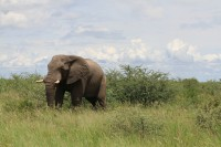 African Elephant | Loxodonta africana, between Nata and Kasane