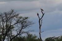 Tawny Eagle | Aquila rapax, north of Nata