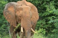 African Elephant | Loxodonta africana, between Nata and Kasane