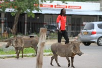 Warthog on the road | Kasane town