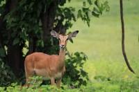 Common Impala | Aepyceros melampus, N.P. CHobe
