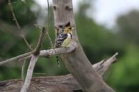Crested Barbet | Trachyphonus vaillantii, National park Chobe