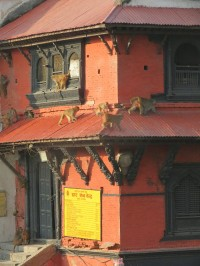 Pashupatinath Temple | Ever-present monkeys, careful before them