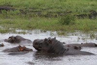 Common Hippopotamus | Hippopotamus amphibius, Chobe N.P.
