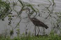 Grey Heron | Ardea cinerea, National park Chobe