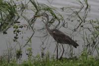 Grey Heron | Ardea cinerea, National park Chobe