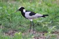 Blacksmith Lapwing | Vanellus armatus, National park Chobe