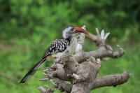 Southern Red-billed Hornbill | Tockus rufirostris, National park Chobe