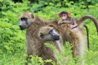 Chacma baboon | Papio ursinus, Chobe N.P.