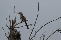 Southern Red-billed Hornbill | Tockus rufirostris, National park Chobe