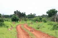 Common Impala on the road | Aepyceros melampus, National park CHobe